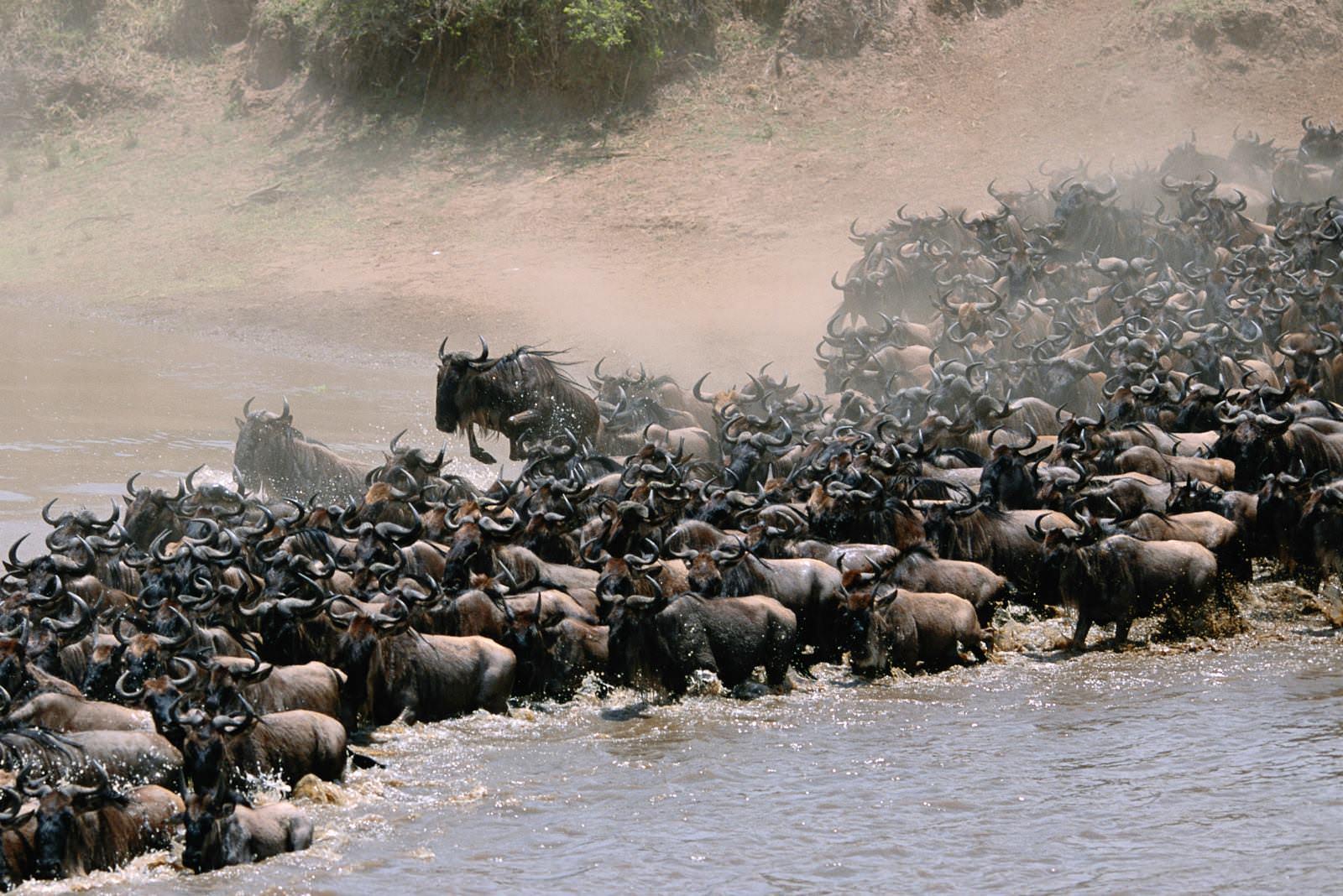 肯亞Kenya▍動物大遷徙(The Great Migration)震撼影片!