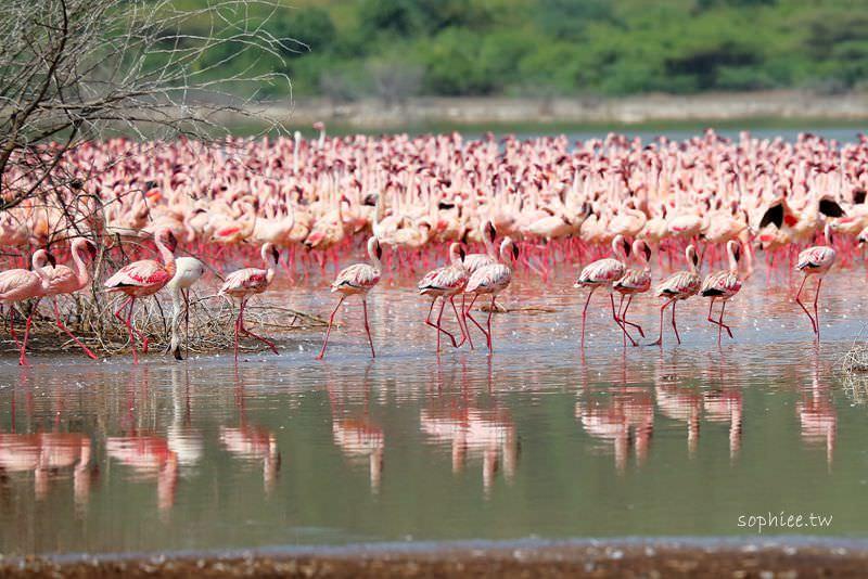 肯亞Kenya▍柏哥利亞湖Lake Bogoria。百萬火烈鳥遷徙 地球上最壯觀的鳥類棲息地 肯亞湖區瞬間變成粉色海洋!