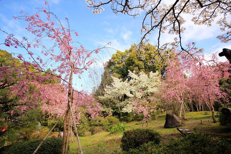 [京都。賞櫻]平安神宮。皇室級的賞櫻景點