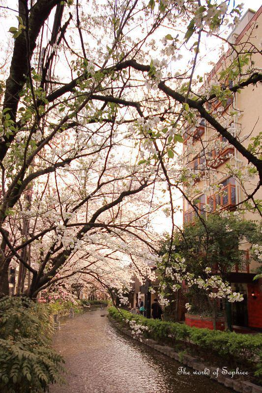 [京都。賞櫻]住進櫻花巷裡。高瀨川「木屋町通」賞櫻秘境