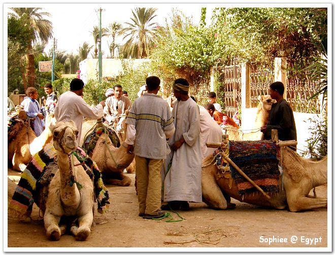 【Egypt埃及】夕陽餘暉下與駱駝的親密接觸~