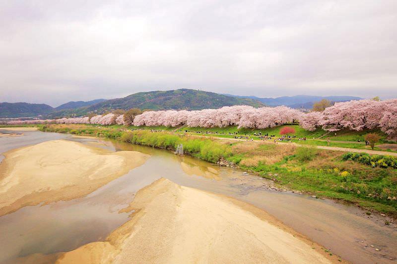 [京都。賞櫻]八幡市淀川背割堤。浪漫櫻花下野餐